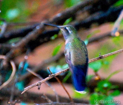 12. blue-throated hummingbird-kab