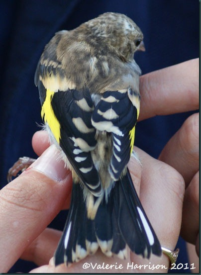 11 goldfinch-2