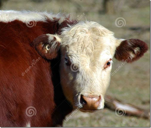 cow-reference