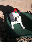 Pam from New Mexico sends photos of Maude the Bulldog...