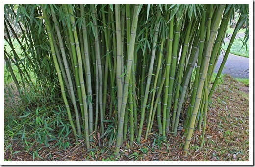 120317_Capitol_Park_Phyllostachys-bambusoides_09