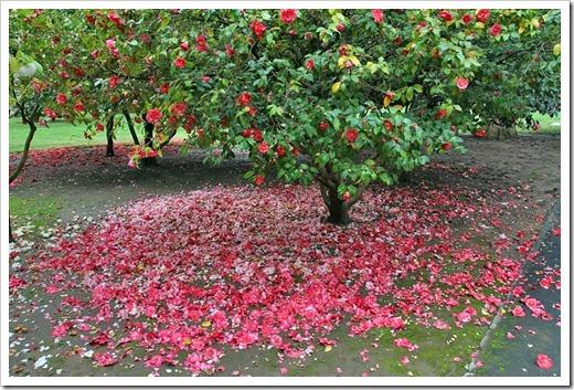 120317_Capitol_Park_Camellia-japonica_53