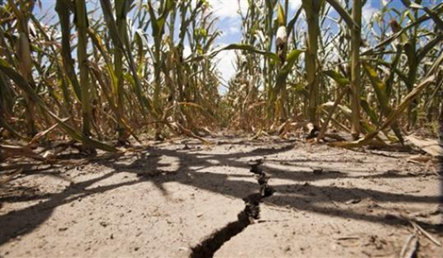A field of corn withers under triple-degree heat north of Wichita, Kansas, in Sedgwick County Monday, 16 July 2012. The drought gripping the United States is the widest since 1956, according to new data released Monday by NOAA. Fifty-five percent of the continental U.S. was in a moderate to extreme drought by the end of JuneMike Hutmacher / The Wichita Eagle / AP Photo