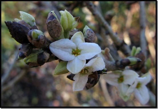Daphne mezerium f. alba
