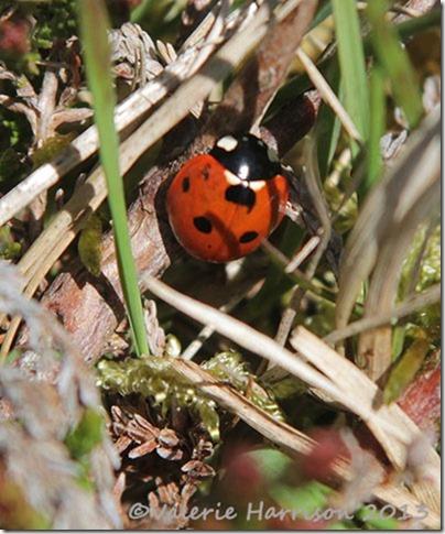 25-ladybird