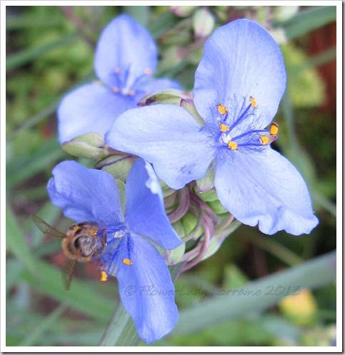 04-10-spiderwort2