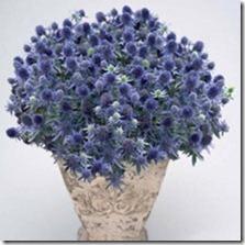martorn eryngium planum 'blue hobbit'