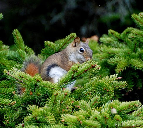 1. red squirrel-kab