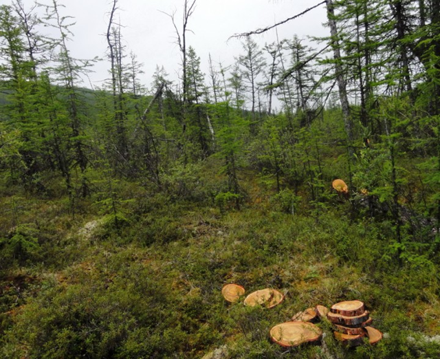 Larch forest in Siberia, Summer 2012. One of the changes observed in the larch forest was the significant amount of burned area. Fires appear to be returning to these forests more frequently than they have in the past. The samples collected on this expedition (in the foreground) will help quantify the fire-return intervals in the Siberian larch forest. Jon Ranson via earthobservatory.nasa.gov