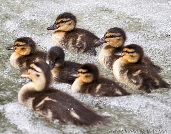 filhotes-patos-fofos-pequenos-desbaratinando (26)