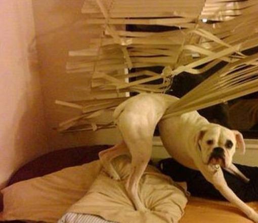 Собака и жалюзи