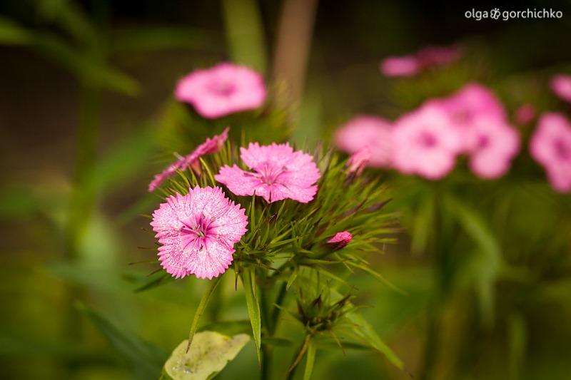 letniye cvety_7