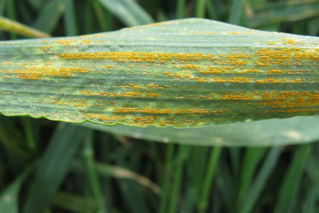 Stripe rust on wheat. Without careful use of fungicides, diseases like stripe rust could become resistant to two types of fungicides available to Australian growers. Photo: GRDC