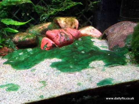 Freshwater Cyanobacteria 26