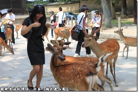 日本奈良京都大阪之旅-梅花鹿公園,成群的野生梅花鹿出沒於公園內,蔚為奇觀。傳說春日大社的神祇,就是乘著鹿降臨於此地的。