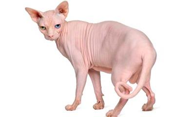 gato-esfinge1a