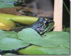 Green Frog at Visitor Center Ponds