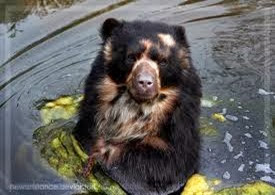 Amazing Pictures of Animals, Photo, Nature, Incredibel, Funny, Zoo, Spectacled bear, Tremarctos ornatus, Mammals, Alex (3)