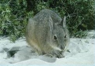 Amazing Pictures of Animals, Photo, Nature, Incredibel, Funny, Zoo, rufous hare-wallaby, (Lagorchestes hirsutus), Mammals, Alex (14)
