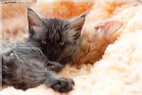 Фото история котят мейн кун в возрасте 7,5 недель 36