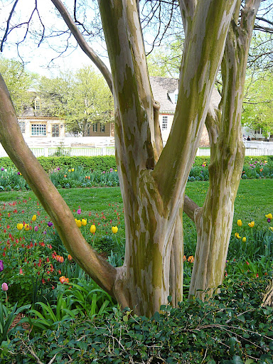 The streaked, exfoliating, or peeling bark is as big an allure as the flowers.