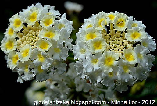Glória Ishizaka - minhas flores - 2012 - 22