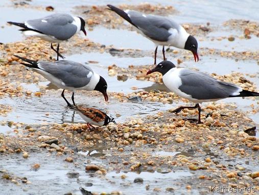 17. turnestones and gulls-kab