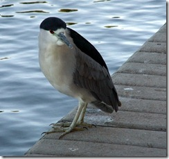 black-crowned night heron on ground 10-25-2012 9-14-57 AM 2403x2257