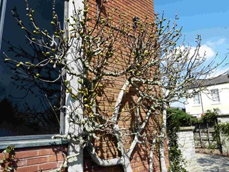 Стратфорд-на-Эйвоне, музей Шекспира, фиговое дерево