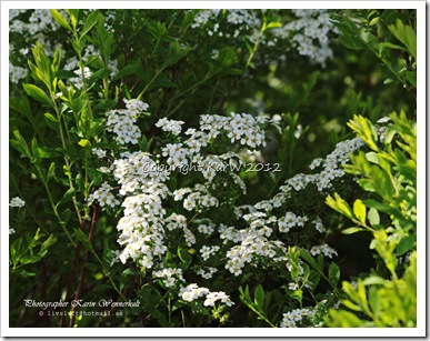 Outside our garden the Spirea is flowering so beautifully.