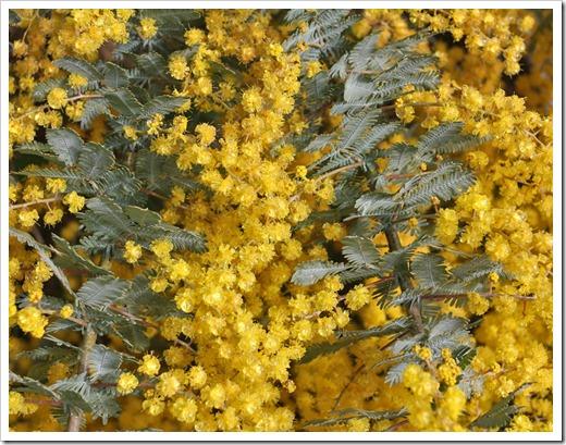 120211_UCSC_Arboretum_Acacia-baileyana_03