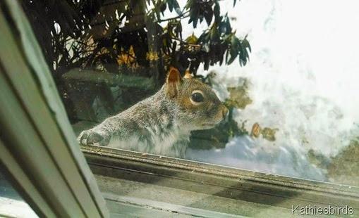 8. Gray squirrel at window 3-19-14