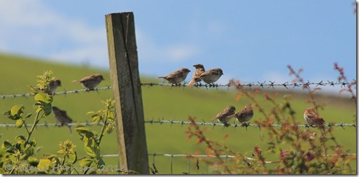 5-sparrows