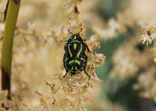 Amazing Pictures of Animals, Photo, Nature, Incredibel, Funny, Zoo, Eupoecila australasiae, fiddler beetle or rose chafer, Insecta, Alex (26)