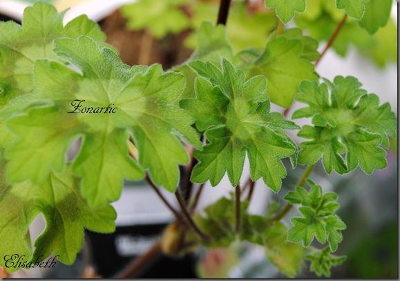 pelargonium i mai 042