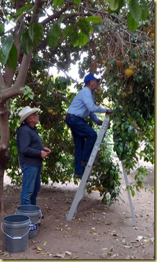 2012-01-23 - AZ, Yuma - Trip to The Farm for Citrus (2)