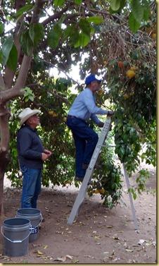 2012-01-23 - AZ, Yuma - Trip to The Farm for Citrus (2)