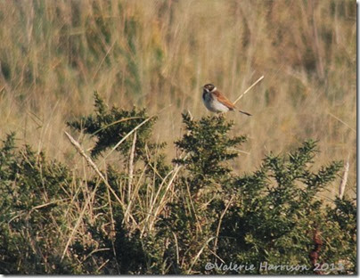 5-Reed-Bunting