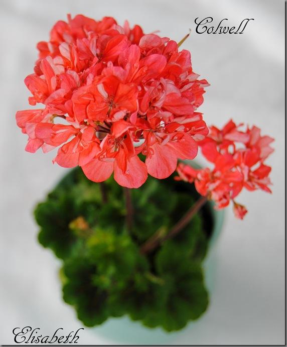 Pelargonium juni-11 215