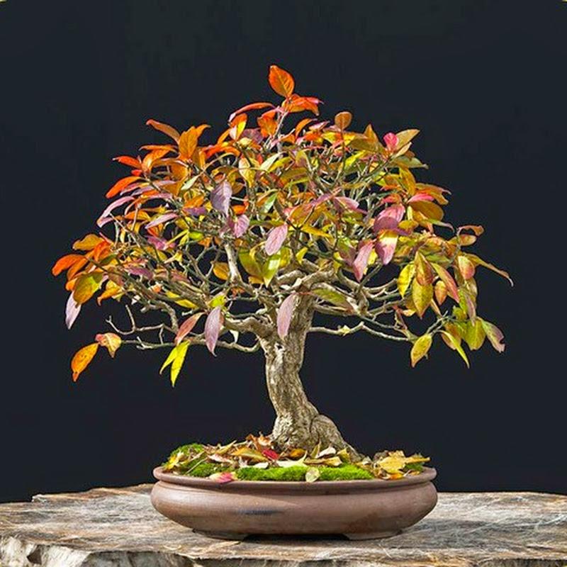 L'Evonimo (Evonymus) è una delle specie più belle per coltivare a bonsai.