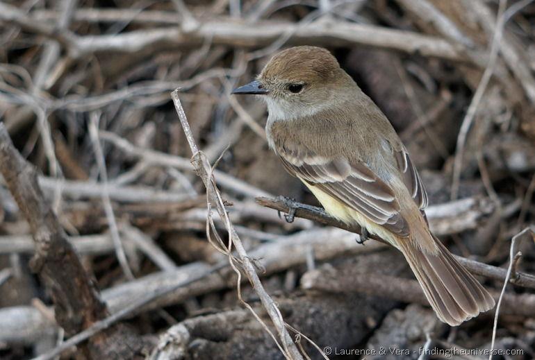 Vogel, Galapagos
