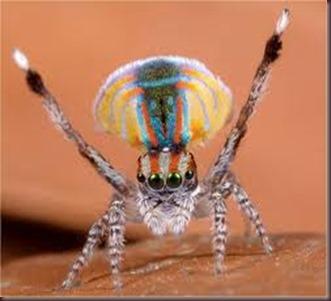 Amazing Pictures of Animals, photo, Nature ,exotic, funny, incredibel, Zoo, Maratus volans,  Peacock spider or Gliding spider, Alex (1)