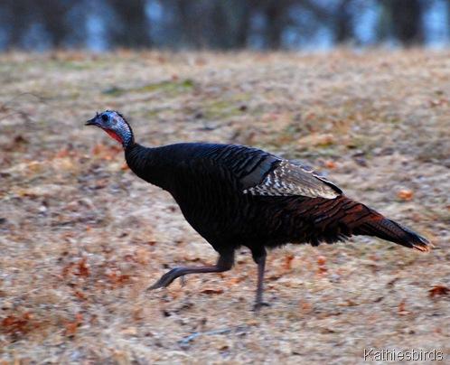 11. turkey-kab
