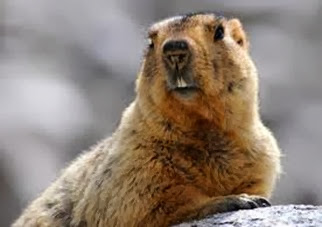 Amazing Pictures of Animals, Photo, Nature, Incredibel, Funny, Zoo, Himalayan marmot, Sciuridae, Mammalia, Alex (1)