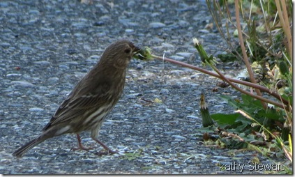 Female Purple Finch eating dandelion seeds