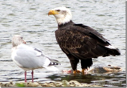 Gull and Bald Eagle