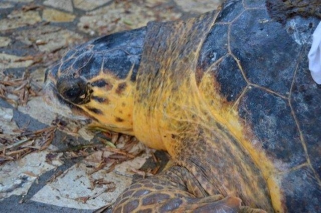 Νέα διάσωση χελώνας από το Σύλλογο Κατελειού