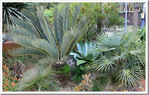 121228_UCBotGarden_Encephalartos-eugene-maraisii- -Chamaerops-humilis-argentea_01