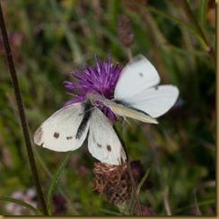 Small White, Pieris rapae: courtship