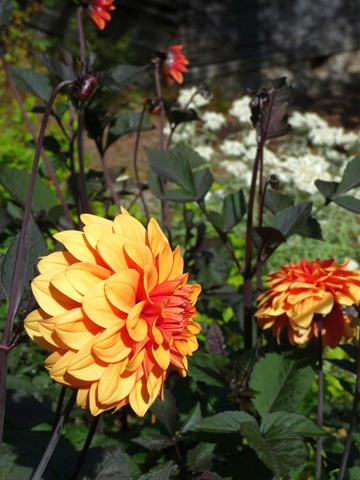 026 Dahlia 'David Howard' Daniel Grankvist